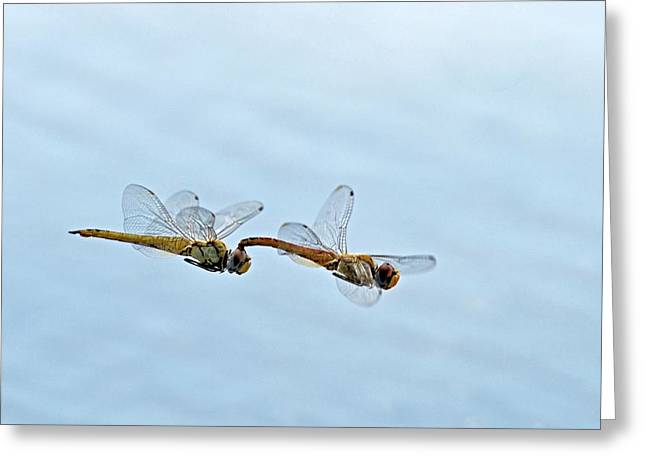 Mating Dragonflies Greeting Card by Tony Camacho