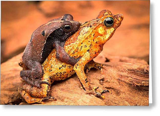 Mating Tropical Toads Greeting Card by Dirk Ercken