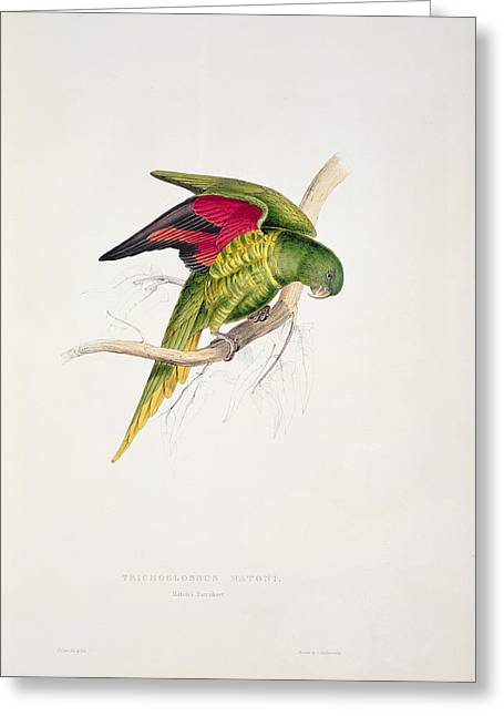 Matons Parakeet Greeting Card by Edward Lear