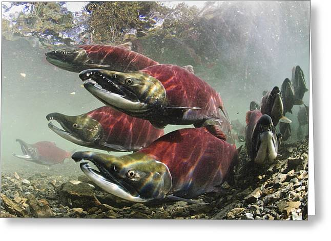 Mature Male Sockeye Salmon On Spawning Greeting Card