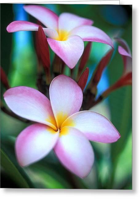 Maui Plumeria Greeting Card