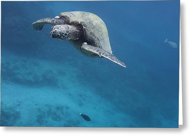 Maui Sea Turtle Approach Greeting Card