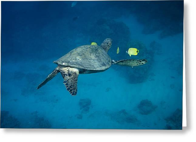 Maui Sea Turtle Cleaning Rear View Greeting Card