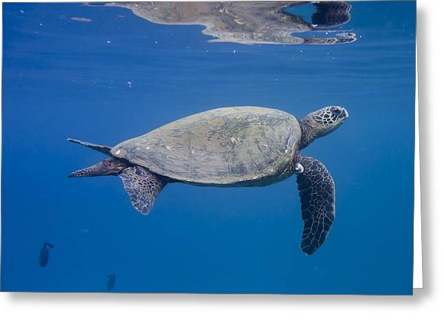 Maui Sea Turtle Deep Blue Greeting Card