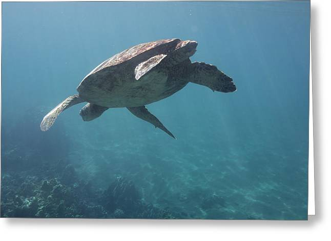 Maui Sea Turtle Dives Greeting Card