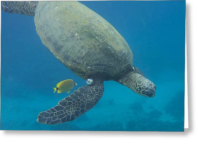 Maui Sea Turtle Dives To Cleaning Station Greeting Card