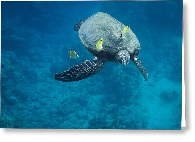 Maui Sea Turtle Faces Us Greeting Card