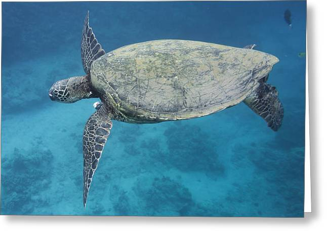 Maui Sea Turtle Flying Greeting Card