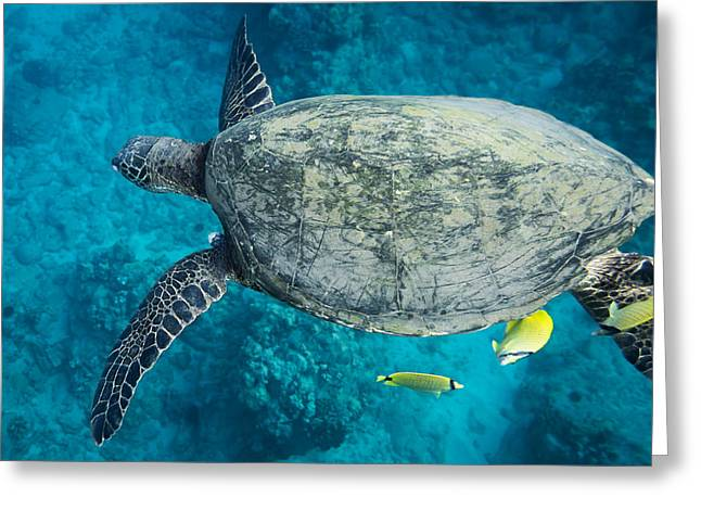 Maui Sea Turtle Flys In To A Cleaning Station Greeting Card