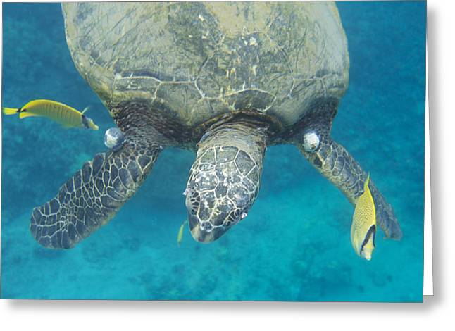 Maui Sea Turtle Gets Cleaned Greeting Card
