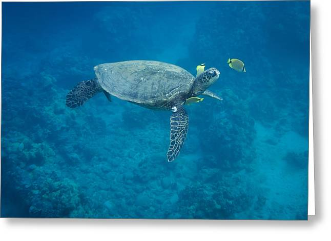 Maui Sea Turtle Head Up Cleaning Greeting Card