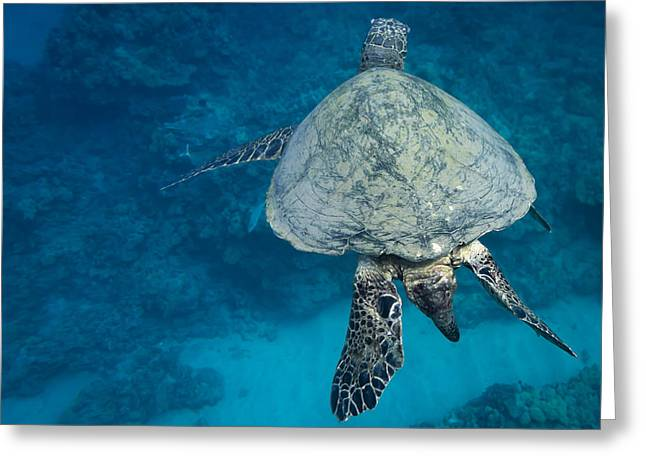 Maui Sea Turtle Passes By Greeting Card