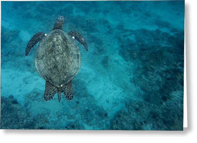 Greeting Card featuring the photograph Maui Sea Turtle Scouts For A Spot by Don McGillis