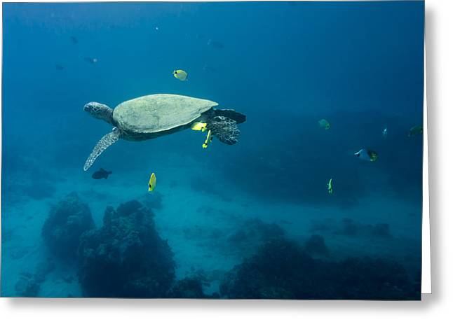 Maui Sea Turtle Suspened At Cleaning Station Greeting Card
