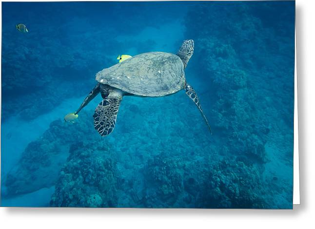 Maui Sea Turtle Tucks His Tail For Cleaning Greeting Card
