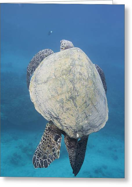 Maui Sea Turtle Vertical Greeting Card