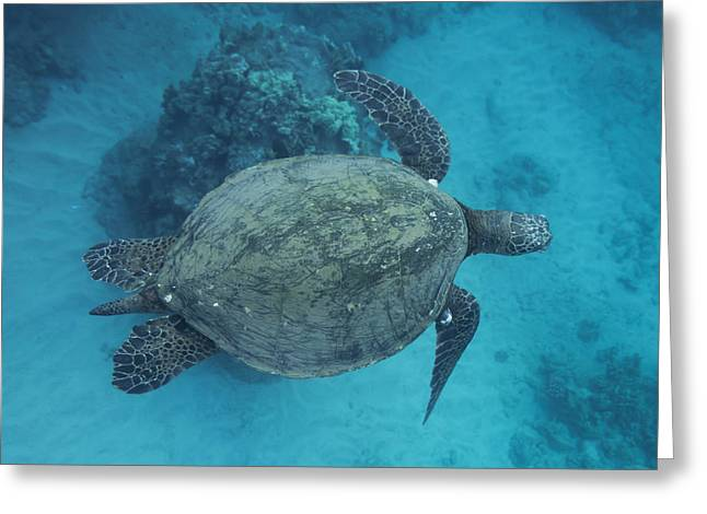 Maui Sea Turtles From Above Greeting Card