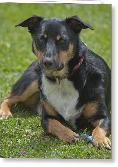 Max Kelpie Border Collie Cross Greeting Card by Patrick OConnell