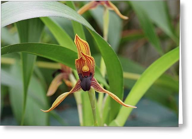 Maxillaria Orchid (camaridium Praestans) Greeting Card