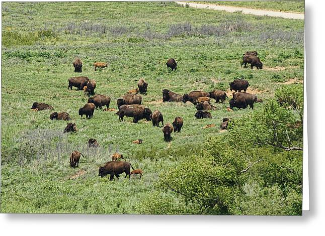 Maxwell Wildlife Preserve Buffalo Herd Greeting Card by Alan Hutchins