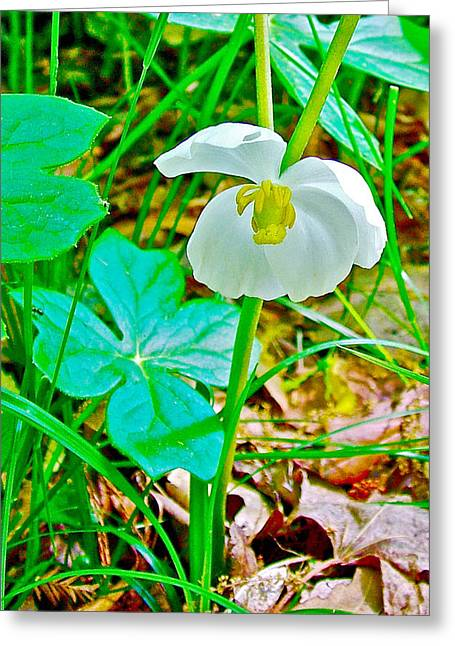 Mayapple In Donivan Slough At Mile 283 Of Natchez Trace Parkway-mississippi  Greeting Card by Ruth Hager