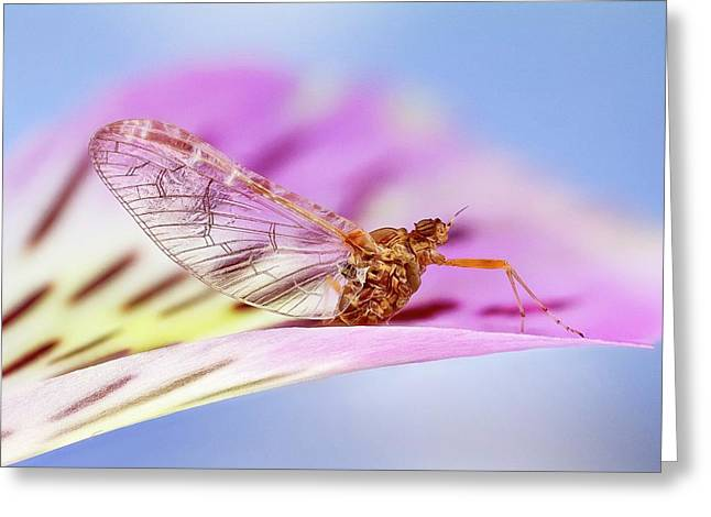 Mayfly On A Flower Greeting Card