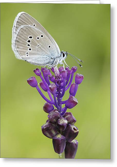 Mazarine Blue Butterfly Dordogne France Greeting Card by Silvia Reiche