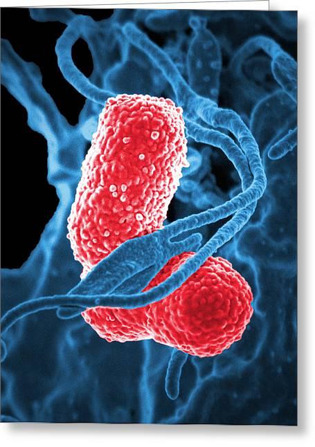 Mdr Pathogen, Klebsiella Pneumoniae, Sem Greeting Card