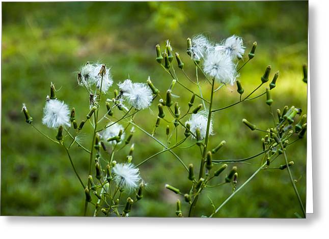 Meadow Hawkweed Seeds Greeting Card by Chris Flees