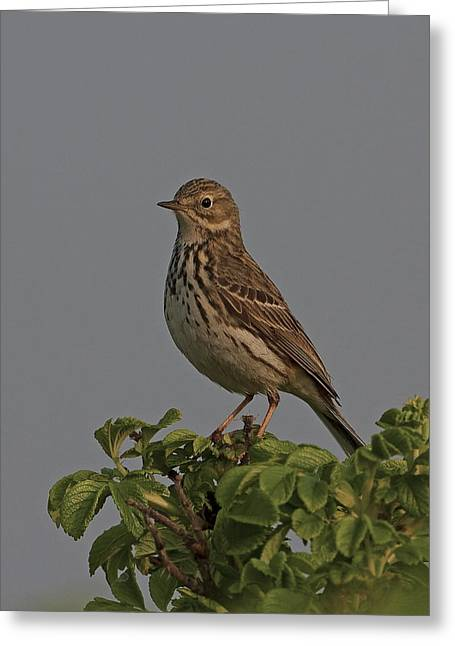 Meadow Pipit Greeting Card