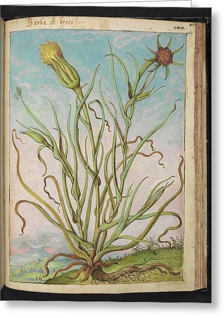 Meadow Salsify (tragopogon Pratensis) Greeting Card by British Library