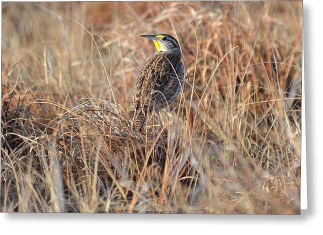 Meadowlark In Grass Greeting Card