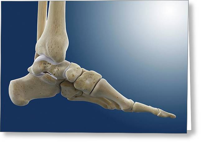 Medial Foot And Ankle Bones Greeting Card