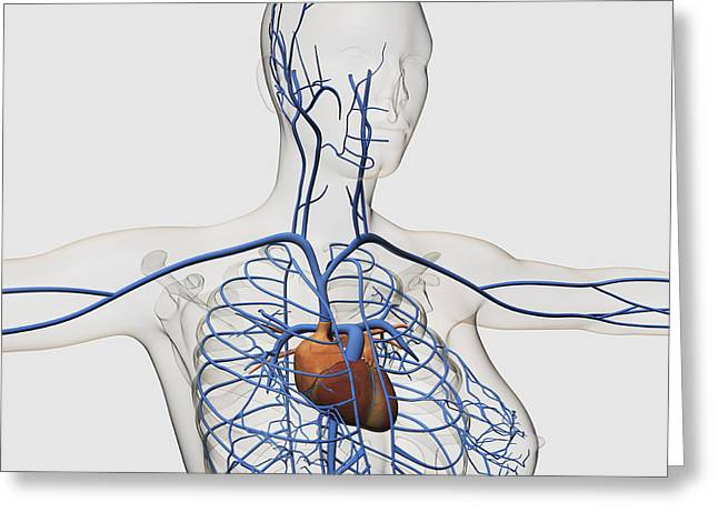 Medical Illustration Of Circulatory Greeting Card