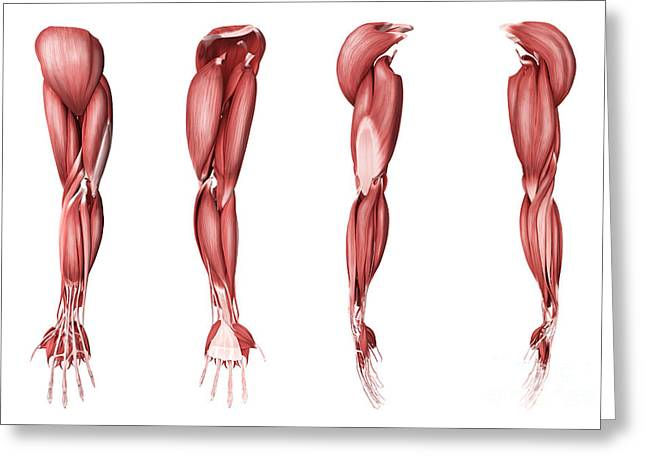 Medical Illustration Of Human Arm Greeting Card by Stocktrek Images