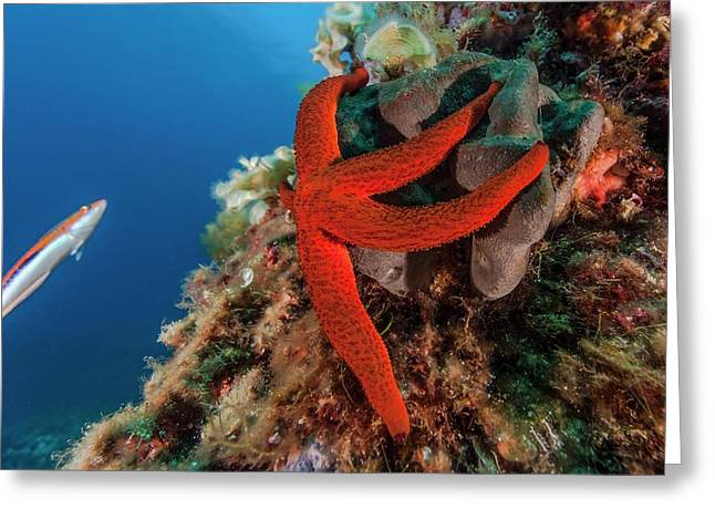 Mediterranean Red Sea Star On Reef Greeting Card by Alexis Rosenfeld/science Photo Library