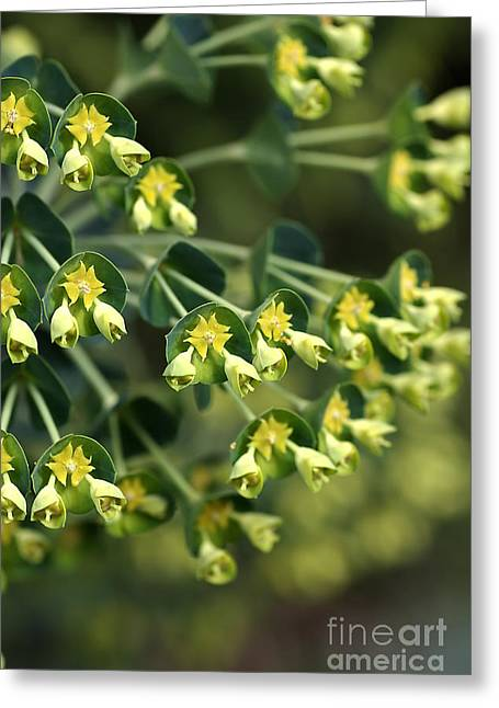 Mediterranean Spurge Greeting Card by Joy Watson
