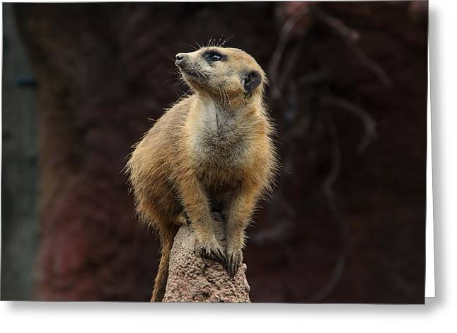 Meerkat  Greeting Card by Michael Demagall