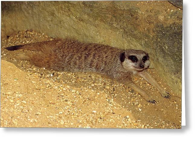 Meerkat Resting Greeting Card by Nigel Downer
