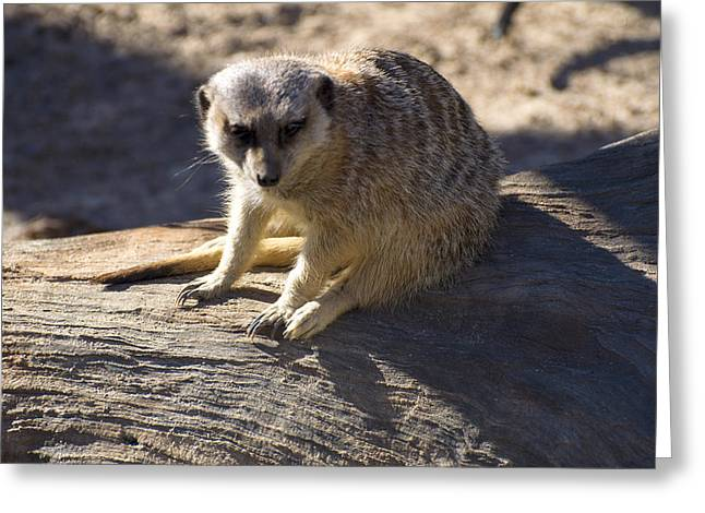 Meerkat Resting On A Rock Greeting Card by Chris Flees