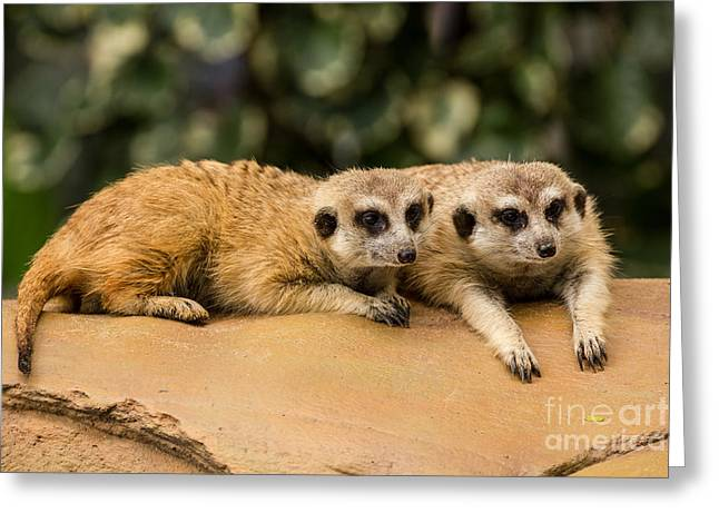 Meerkat Resting On Ground Greeting Card by Tosporn Preede
