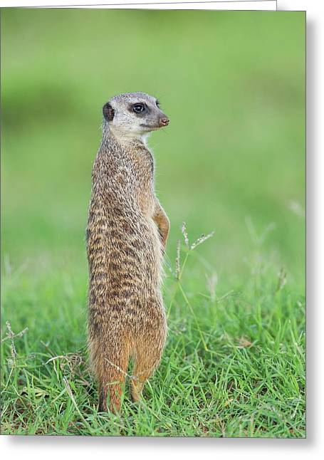 Meerkat Standing On Guard Duty Greeting Card by Peter Chadwick
