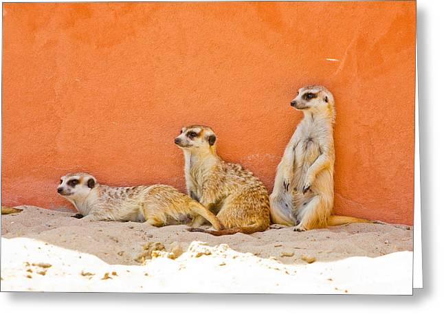 Meerkats Greeting Card by Pati Photography