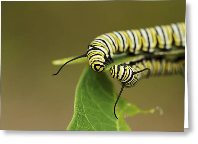 Meeting In The Middle - Monarch Caterpillars Greeting Card