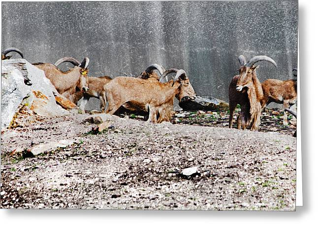 Meeting Of Barbary Sheep Greeting Card