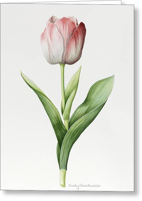 Meissner Porsellan Tulip Greeting Card by Sally Crosthwaite