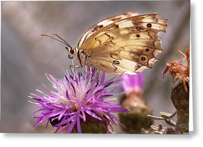 Melanargia Greeting Card