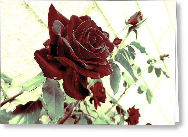 Melancholy Rose Greeting Card