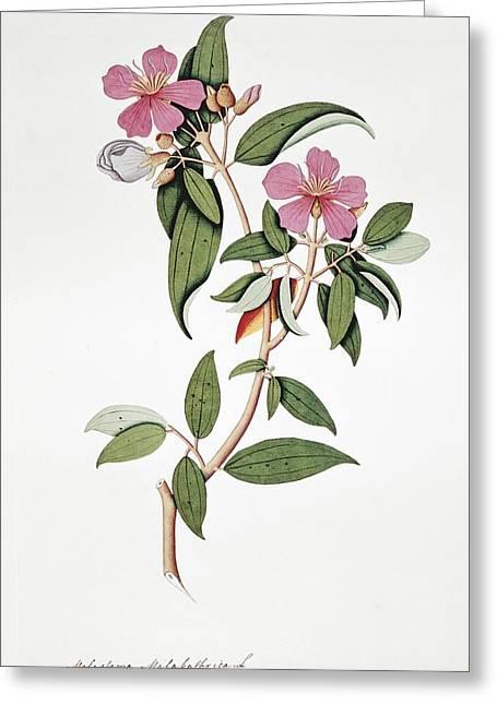 Melastoma Malabathrica Flowers, Artwork Greeting Card