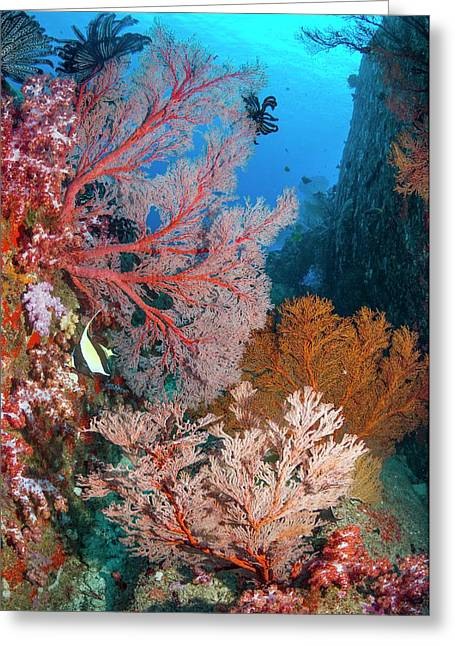 Melithaea Sea Fans Greeting Card by Georgette Douwma